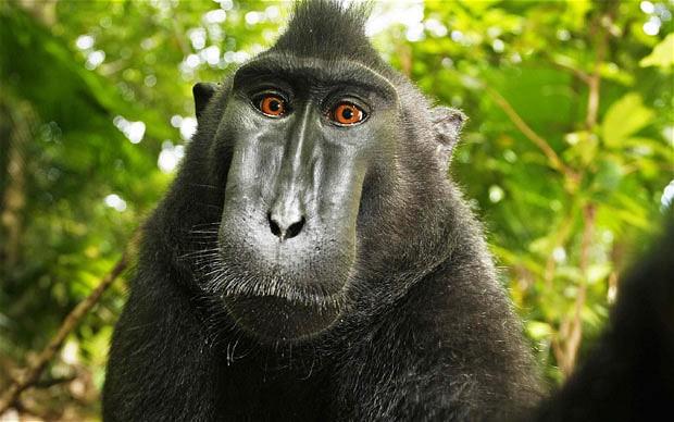 Бюро охраны авторских прав США решило, что владелец фотоаппарата не имеет прав на автопортрет макаки из Индонезии, которая нашла камеру в лесу