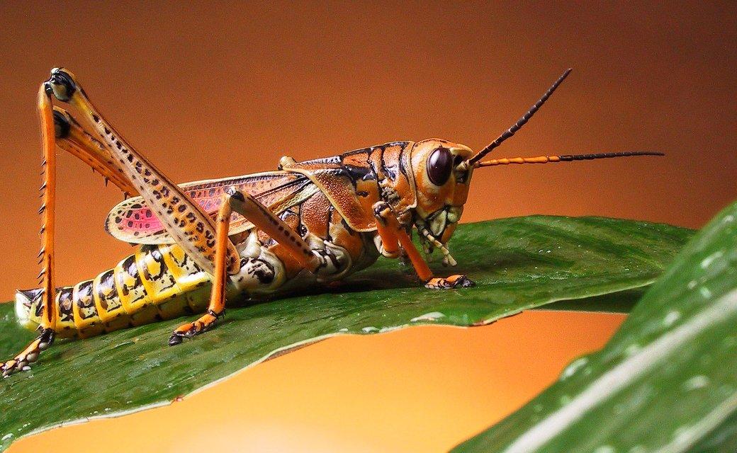 grasshopper-h