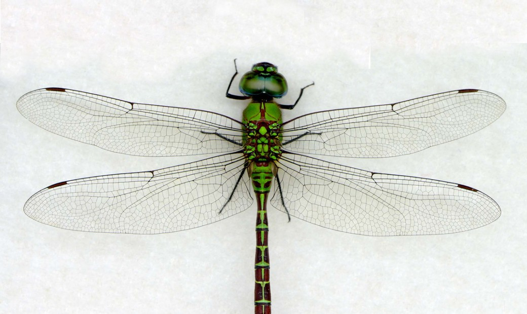 dragonfly-h